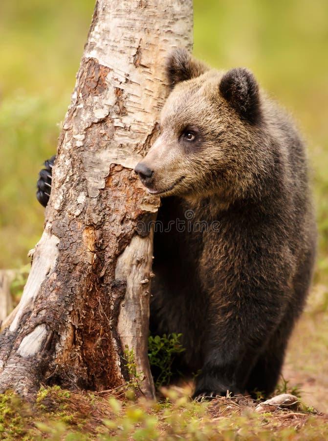 掩藏在树后的逗人喜爱的矮小的欧亚棕熊 免版税库存图片