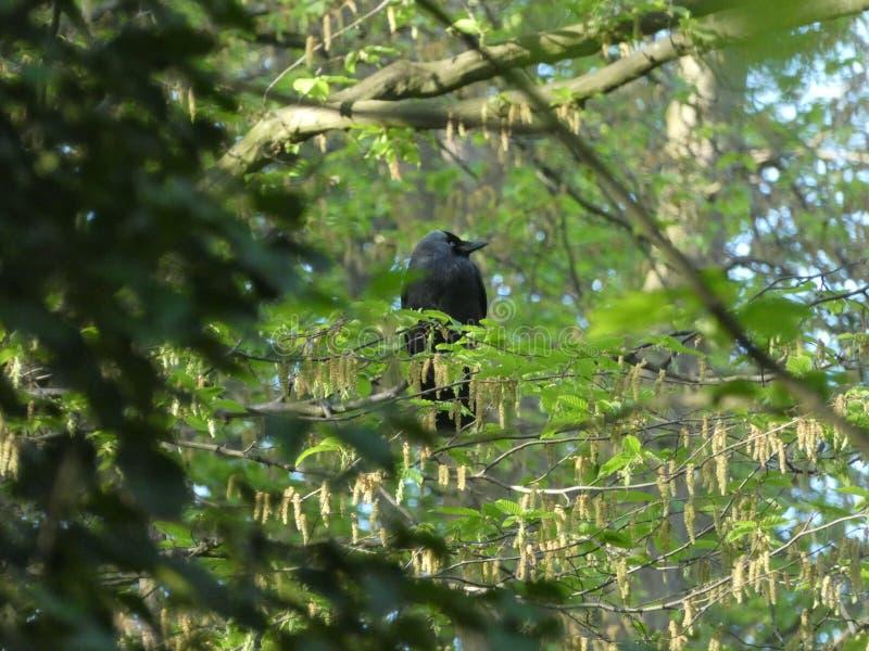 掩藏在树的戴头巾乌鸦 免版税库存照片