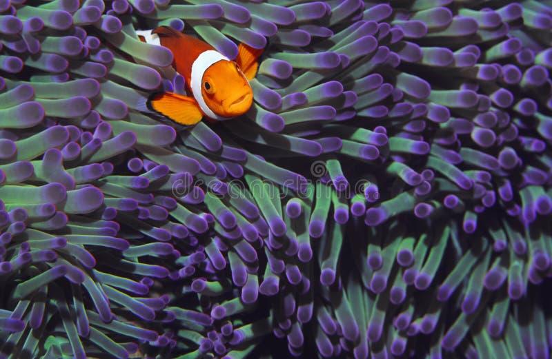掩藏在海anenomies中的小丑鱼 免版税库存图片