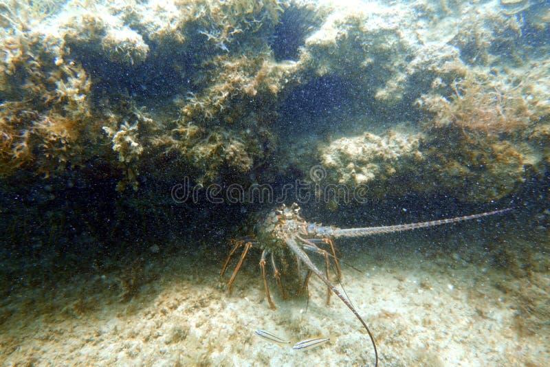 掩藏在空隙下的龙虾在海洋底部 免版税库存图片