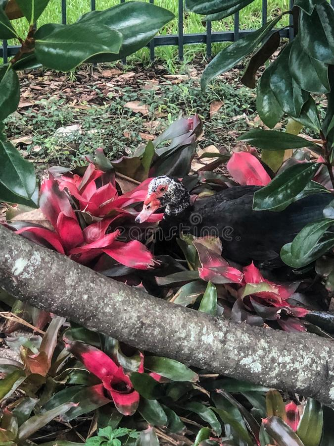 掩藏在花的独特的鸭子在城市公园 库存图片