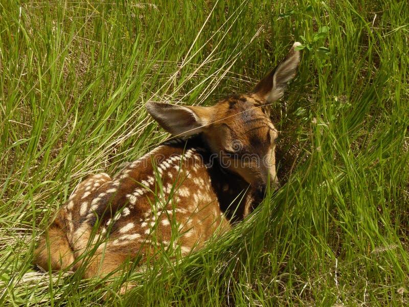 掩藏在草的小小鹿 免版税库存照片