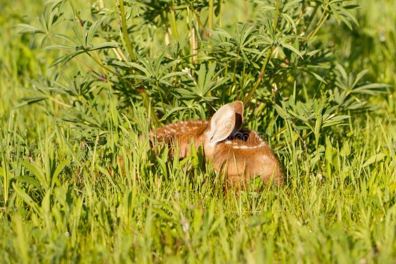 掩藏在草的小鹿 免版税库存照片