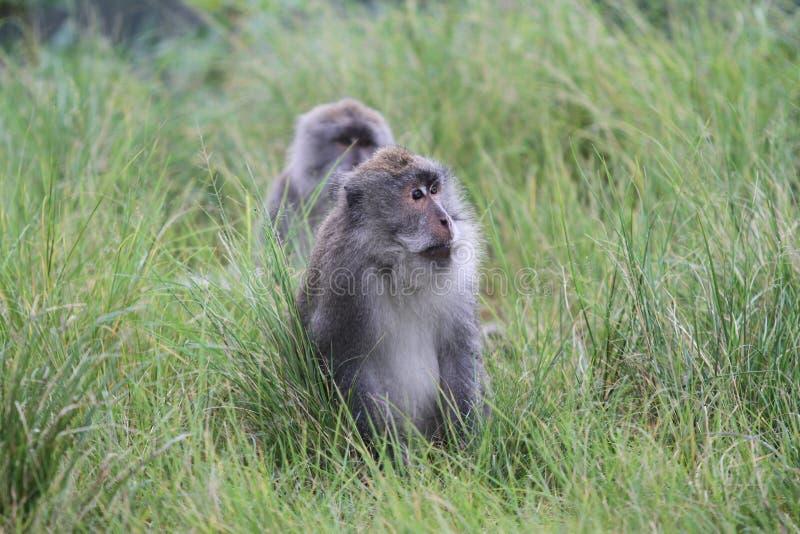 掩藏在草的野生猴子 库存图片