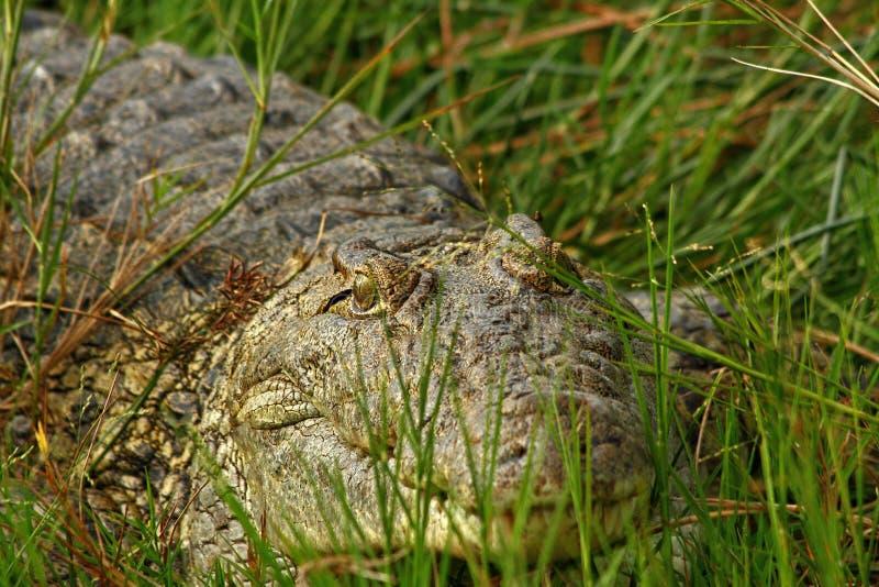 掩藏在草的鳄鱼 库存照片