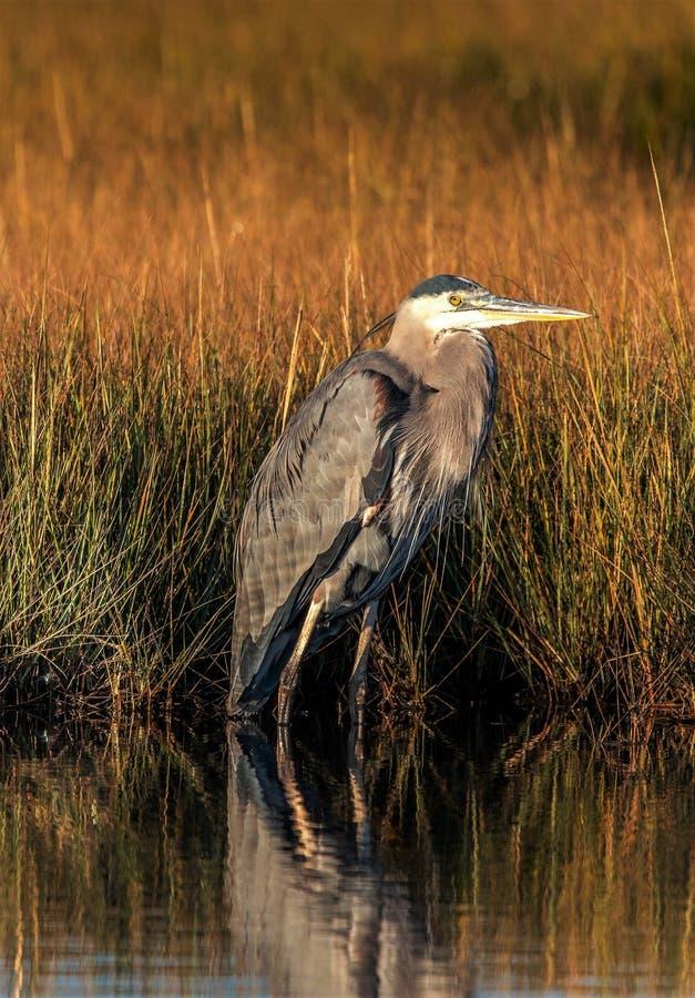 掩藏在象草的沼泽地的蓝色苍鹭 图库摄影