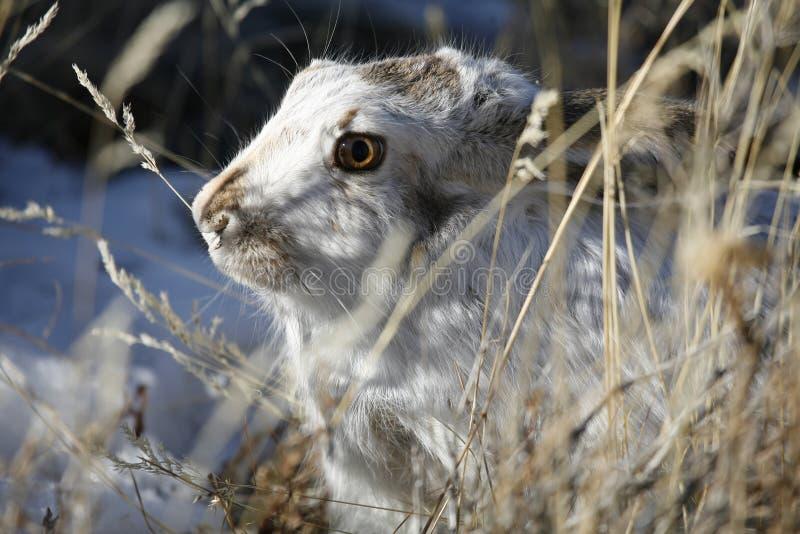 掩藏在雪的杰克兔子 图库摄影