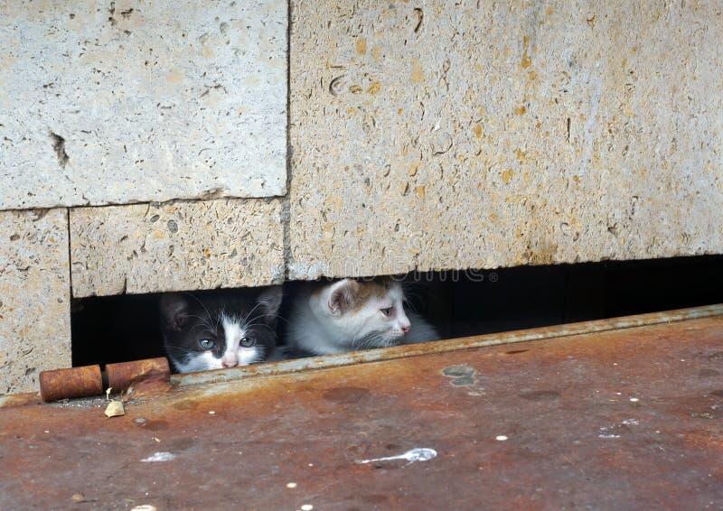 掩藏的小猫 免版税库存图片