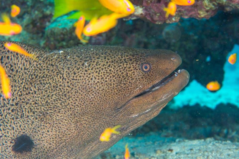 掩藏的海鳝 图库摄影