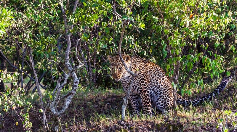 掩藏豹子 猎人狩猎  mara马塞语 库存图片