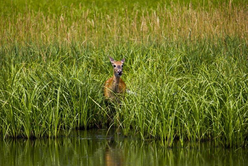 掩藏从掠食性动物的害羞的母鹿 图库摄影