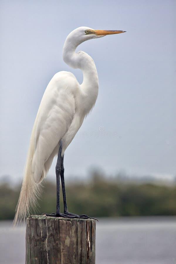 伟大的白色白鹭 库存图片