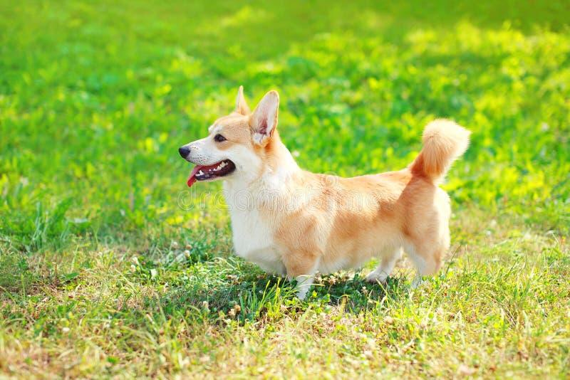 描出狗威尔士走在草的小狗彭布罗克角 库存图片