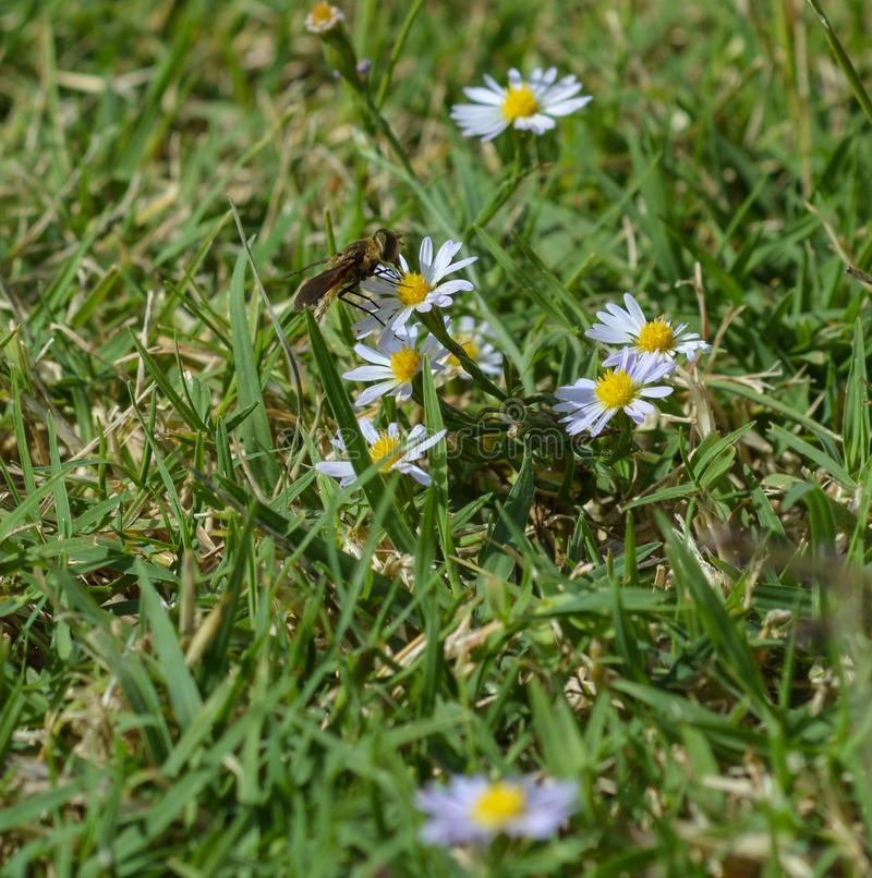 描出看法,从一朵小野花吮花蜜花飞行的宏观照片 图库摄影