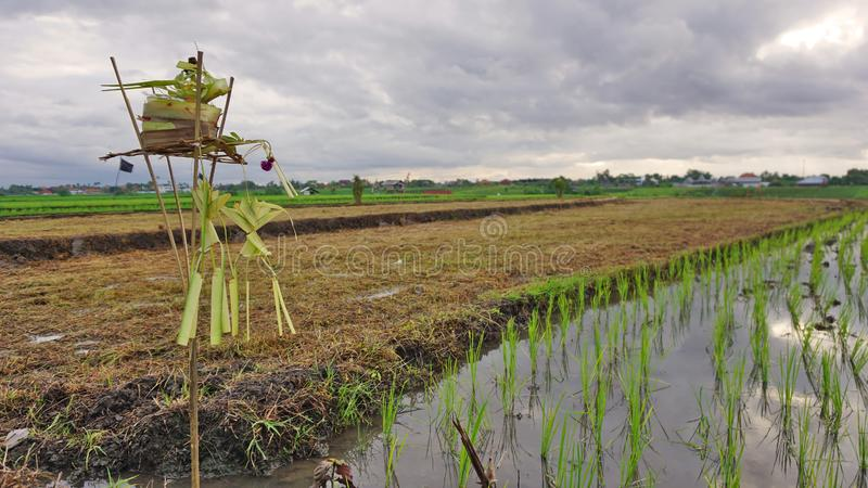 提供作为米和繁荣的女神的Dewi的斯里 稻田风景背景 免版税库存图片