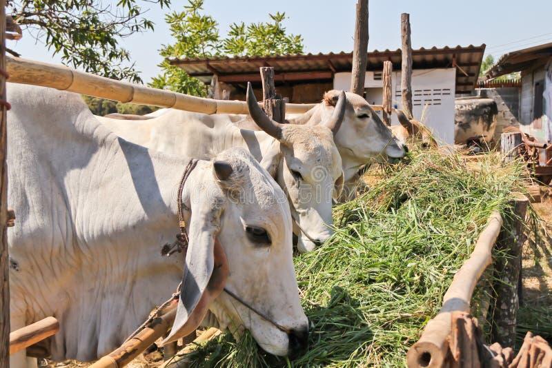 提供安排白色的母牛 免版税库存照片