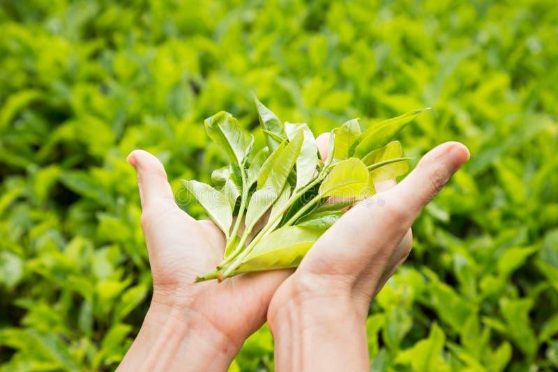 提供新近地被收获的茶叶子 免版税库存图片