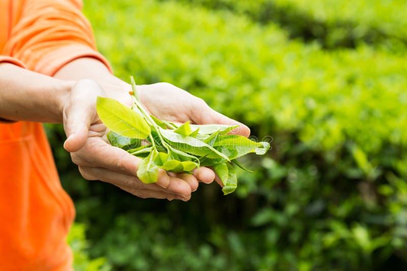 提供新近地被收获的茶叶子 免版税图库摄影