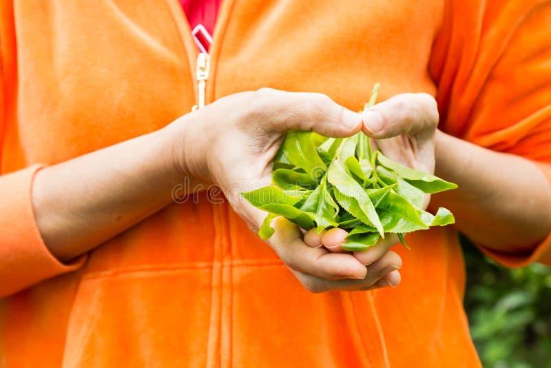 提供新近地被收获的茶生叶与手指被塑造象心脏 免版税库存照片