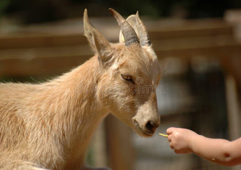 提供的山羊 免版税库存照片