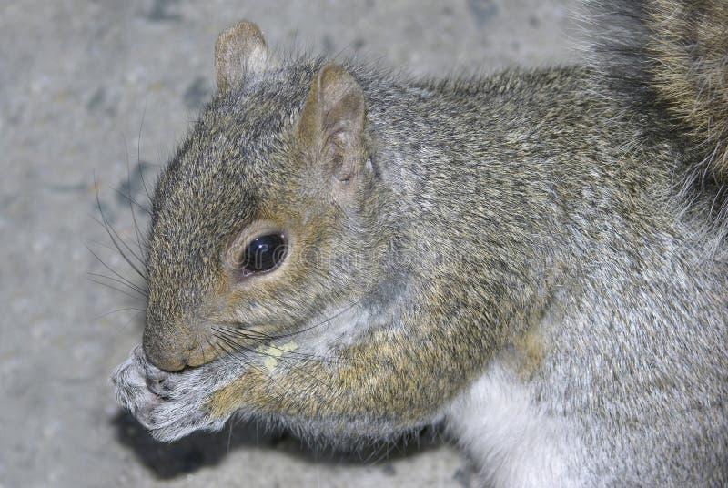 提供的灰鼠 免版税库存照片