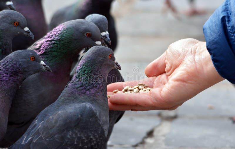 提供的现有量鸽子 库存图片