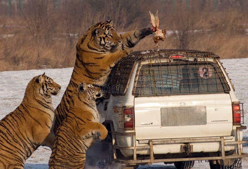 提供的老虎时间 免版税图库摄影