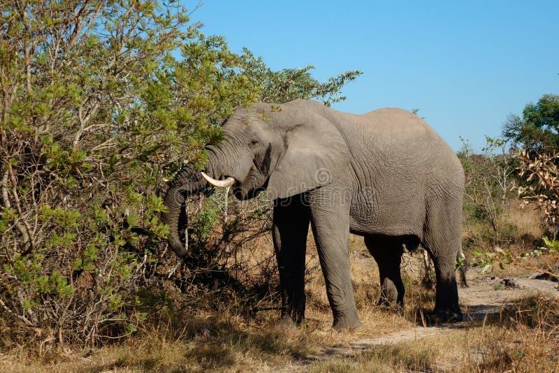 提供的非洲大象 库存图片