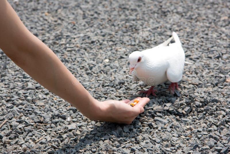 提供的鸽子白色 库存照片