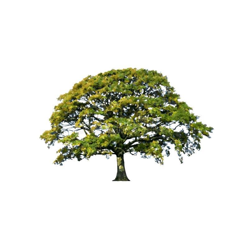 提取橡木夏天结构树 向量例证