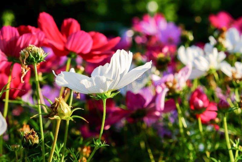 提高的五颜六色的波斯菊开花在快乐的阳光下 环境美化的普遍的装饰植物公开和私有recr 库存图片