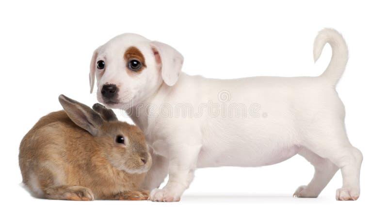 插孔小狗兔子罗素狗 免版税库存照片