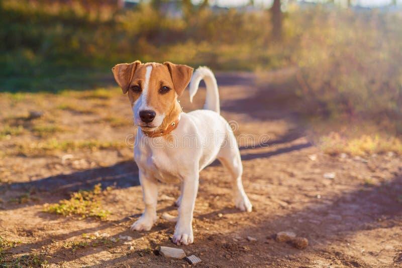 插孔纵向罗素狗 在秋天胡同的小狗 免版税库存图片