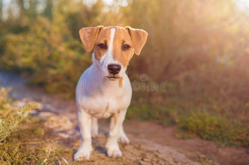 插孔纵向罗素狗 在秋天胡同的逗人喜爱的小狗 库存图片