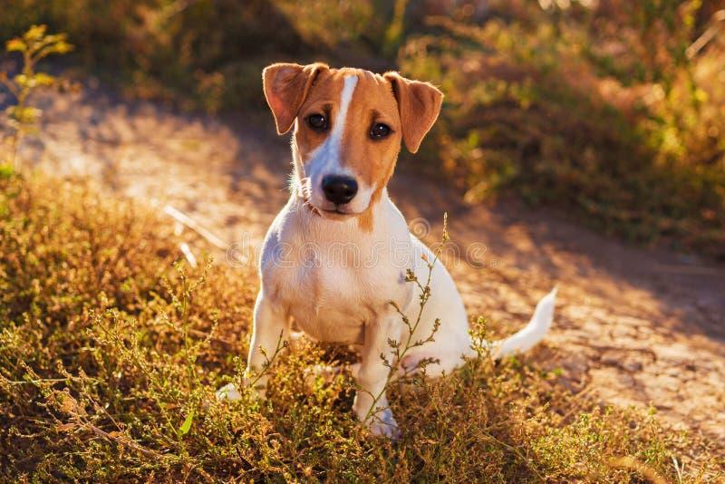 插孔纵向罗素狗 走在秋天胡同的好的小狗 库存照片