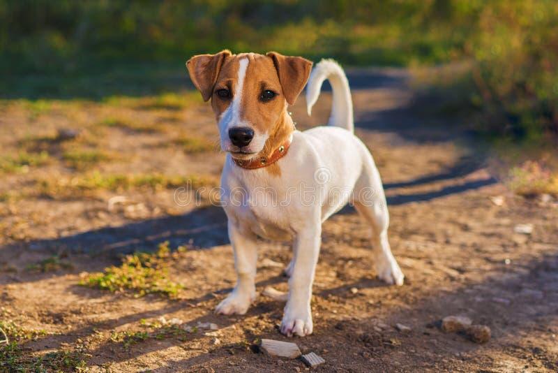 插孔纵向罗素狗 走在秋天胡同的小狗 库存照片