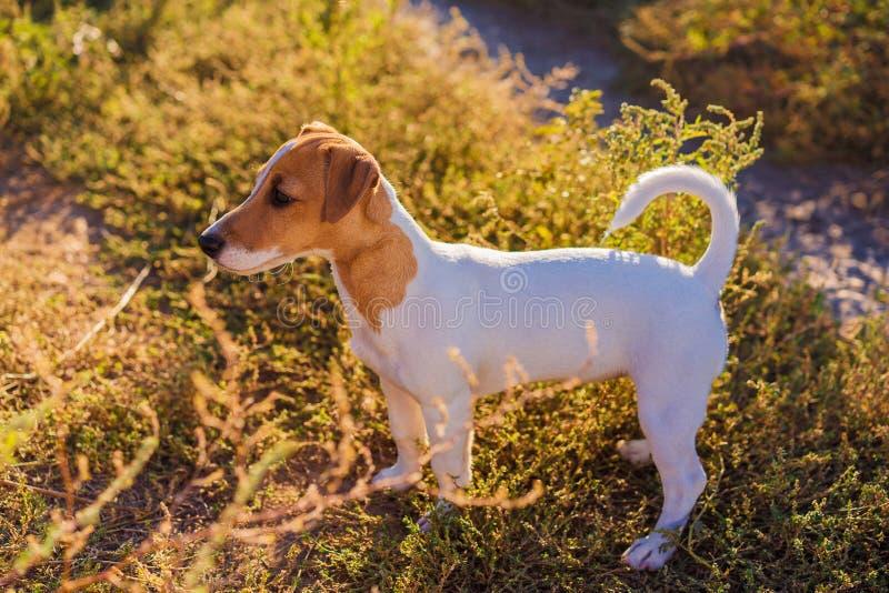 插孔纵向罗素狗 走在秋天胡同的逗人喜爱的小狗 免版税图库摄影