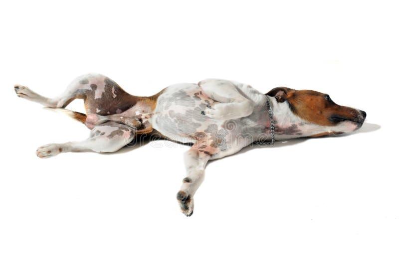 插孔罗素狗年轻人 免版税库存照片