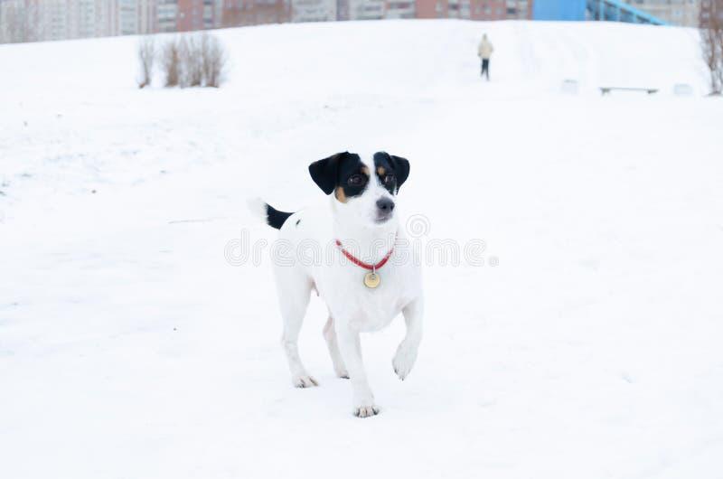插孔罗素狗 狗执行它的所有者命令  走户外在冬天 库存照片