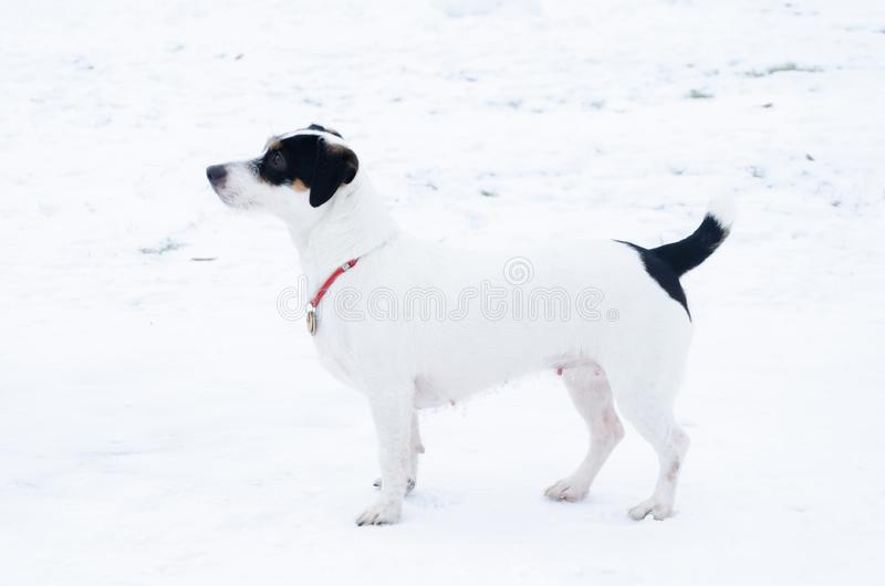 插孔罗素狗 狗执行它的所有者命令  走户外在冬天 库存图片