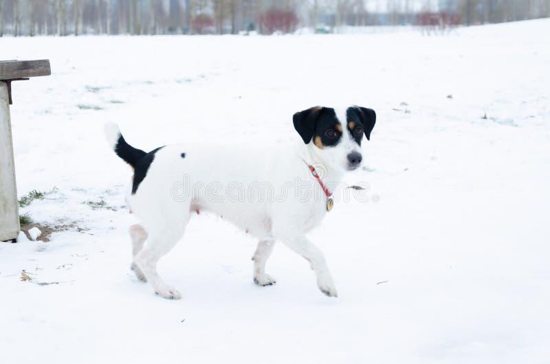 插孔罗素狗 狗执行它的所有者命令  走户外在冬天 免版税库存照片