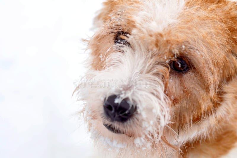 插孔罗素狗 看在白雪背景的哀伤的硬毛的狗 阿尔卑斯包括房子场面小的雪瑞士冬天森林 免版税图库摄影