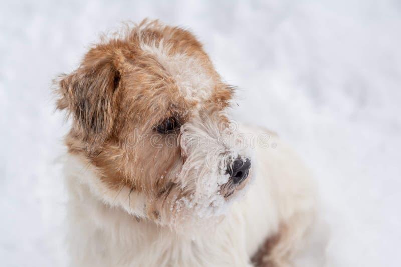 插孔罗素狗 看在白雪背景的哀伤的硬毛的狗 阿尔卑斯包括房子场面小的雪瑞士冬天森林 图库摄影