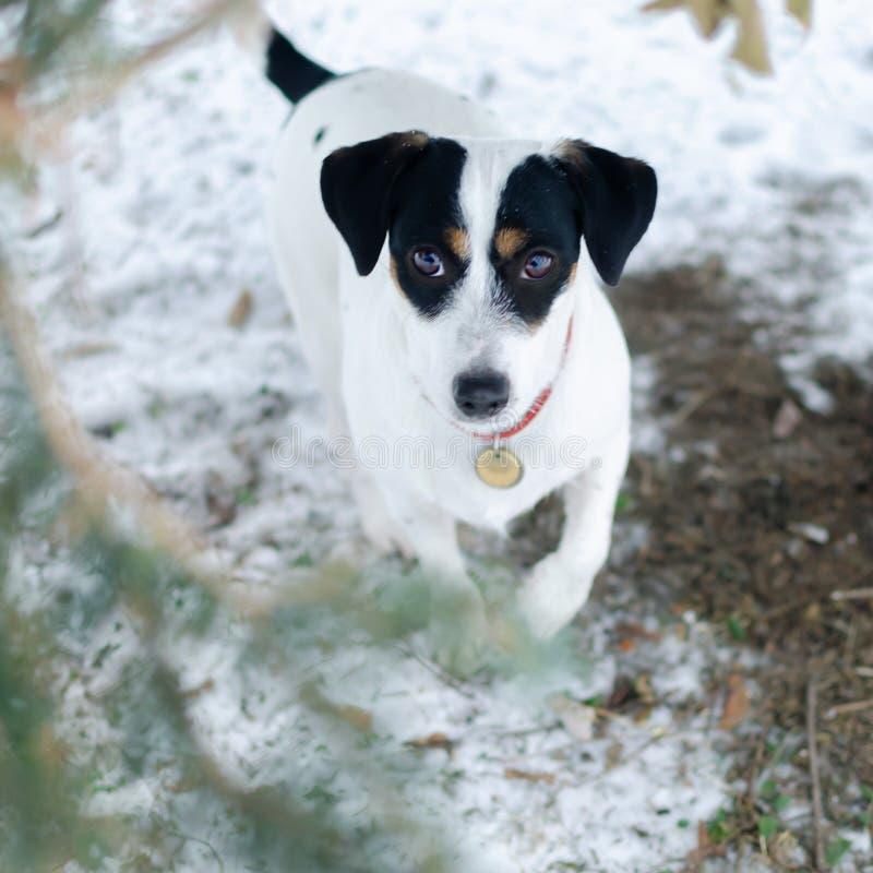 插孔罗素狗 走户外在冬天 美丽的特写镜头纵向 库存图片