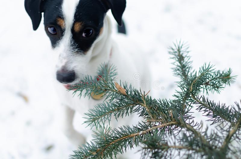 插孔罗素狗 走户外在冬天 美丽的特写镜头纵向 库存照片