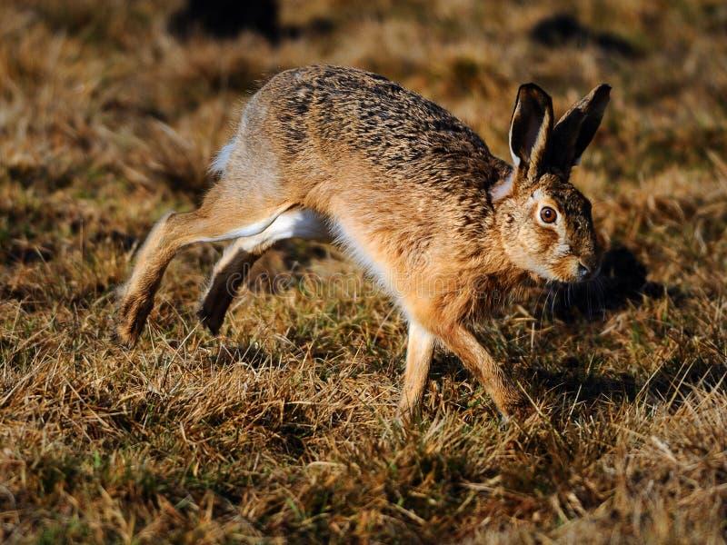 插孔跳的兔子 免版税库存图片