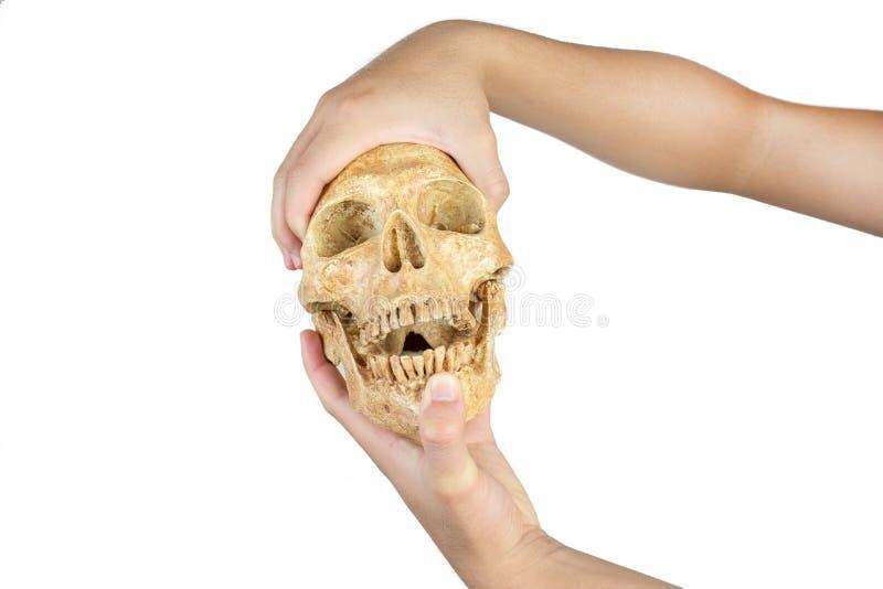 握头骨的手被隔绝在白色背景 库存图片
