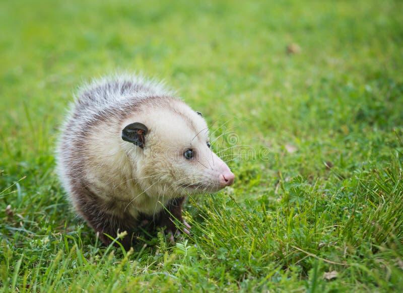 搜寻为在草的食物的弗吉尼亚负鼠 免版税图库摄影