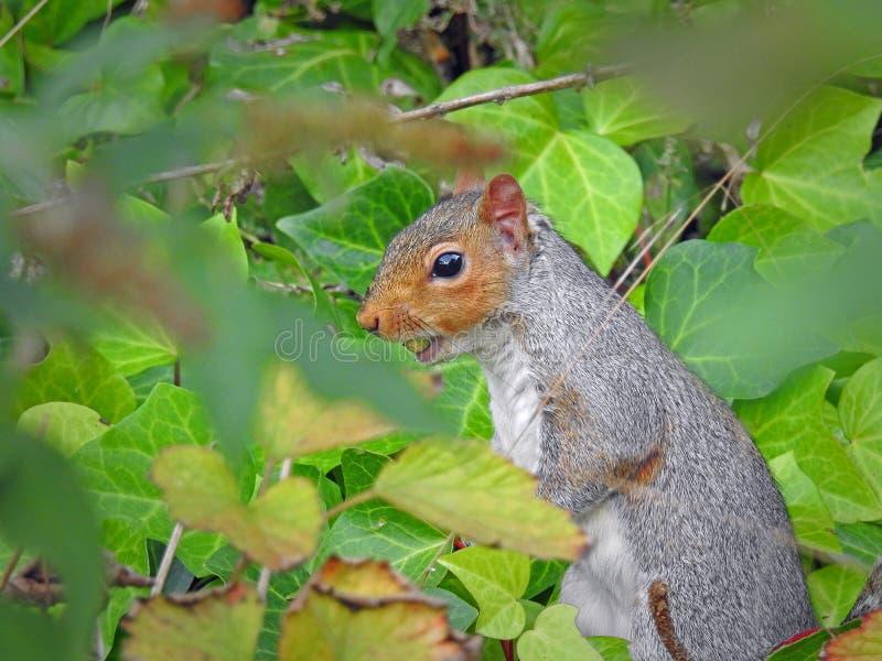 搜寻为橡子的英国灰色灰鼠 库存照片