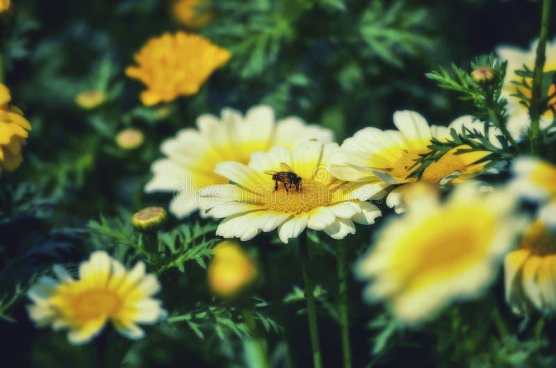 搜寻在一束白花的黄色核心的食物的蜂在有优美的风景的一个庭院里 库存图片